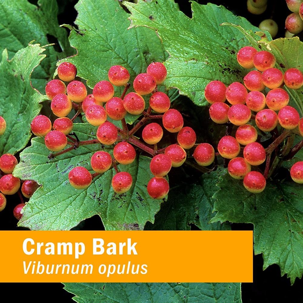 Viburnum Opulus Q -  Mother Tincture