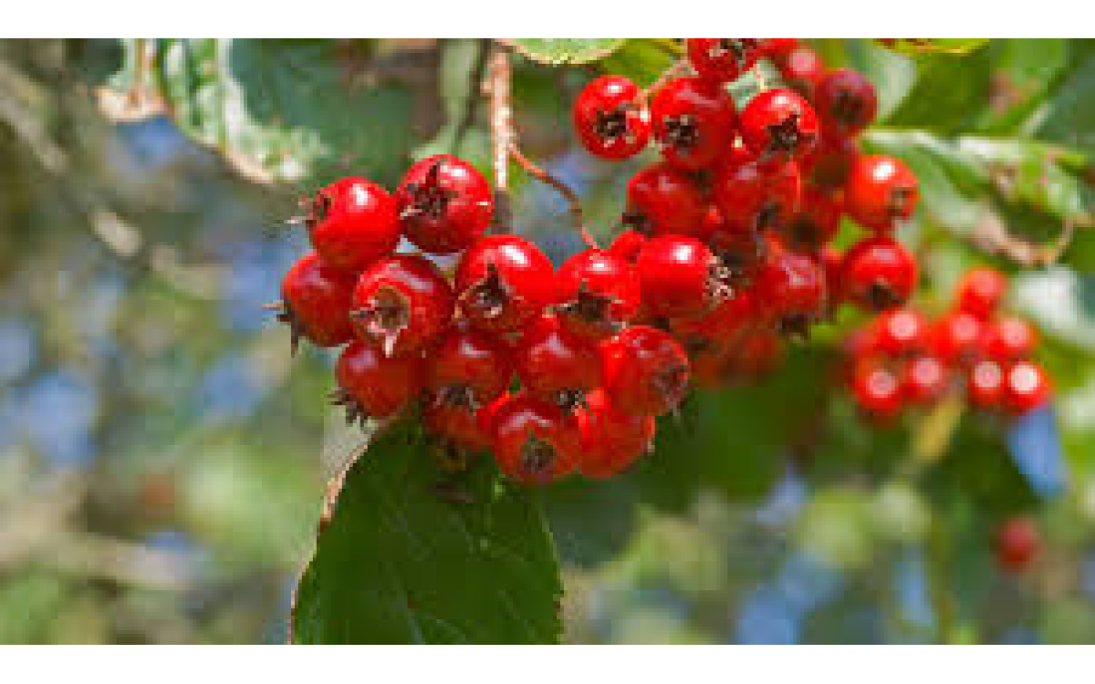Hawthorn (Crataegus oxyacantha) benefits for cardiovascular health
