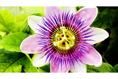 Passiflora Drops - Helps You Relax and Sleep Better
